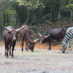Watussirinder und Zebras