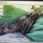 Vortrag – Wildschweinen auf der Spur