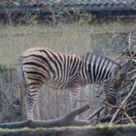 Zebra Nachwuchs Dezember 2015