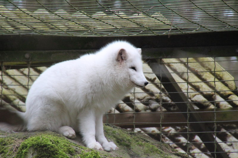 polarfüchse im rostocker zoo