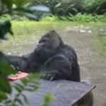 Gorilla Gorgo hat Geburtstag