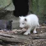 spielende Polarfuchswelpen
