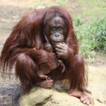 Orang-Utan Mama Hsiao Ning mit ihrem Baby im Darwineum
