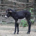 junger Eselhengst