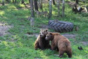 Raubtier-WG Braunbären Fred und Frode mit den Wölfen