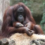 Orang-Utan-Baby und Mutter Hsiao-Ning