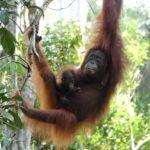 Borneo-Orang-Utan mit Baby auf Kalimantan (Foto: Tobias Pollmer)