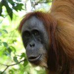 Sumatra Orang-Utan (Foto: Tobias Pollmer)