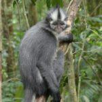 Thomas-Langur auf Sumatra (Foto Tobias Pollmer)