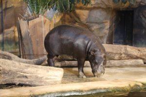 Zwergflusspferd Nimba - Jahresabschluss Zooverein 2017