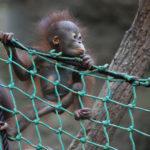 Oran-Utan Baby Niah im Darwineum