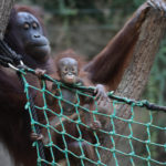 Oran-Utan Baby im Darwineum