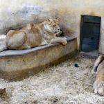 Löwe Chibyee mit den Löwinnen Zima und Akira - Sonntagsführung