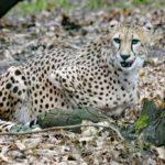 Weiblicher Gepard - Sonntagsführung