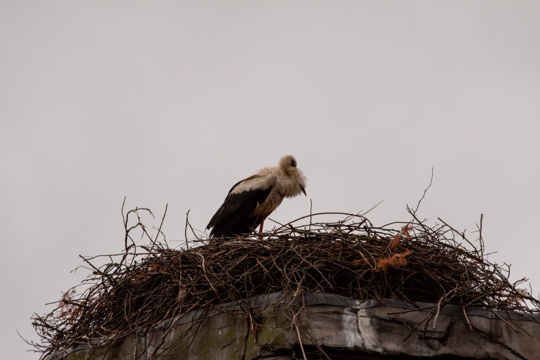 Störche im Zoo, Nest auf dem Wasserturm der alten Bärenburg