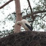 Störche im Zoo, Nest gegenüber den Geparden