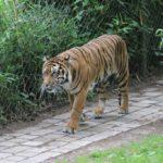 Sumatra-Tiger NaturZoo Rheine