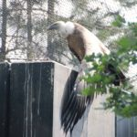 Gänsegeier Zoo Amersfoort