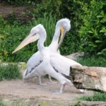 Krauskopfpelikane Zoo Amersfoort