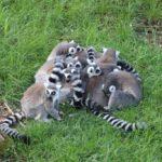Kattagruppe Zoo Amersfoort