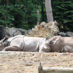 Panzernashörner Zoo Amersfoort