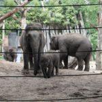 Asiatische Elefanten Zoo Amersfoort