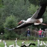 Storch im Anflug NaturZoo Rheine