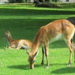 Litchi-Moorantilope Zoo Rostock
