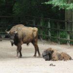 Wisentkalb Zoo Rostock