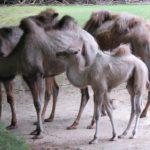 Trampeltiere - Zoo Rostock