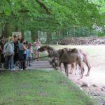 Sonntagsführung Fütterung Trampeltiere Zoo Rostock
