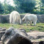 Eisbärenaußenanlage Zoo Rotterdam