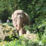 Asiatischer Elefant Zoo Rotterdam