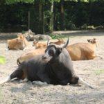Banteng Zoo Rotterdam