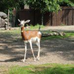 Mhorr-Gazelle Zoo Rotterdam