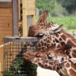 Giraffe Zoo Rotterdam