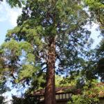 Mammutbaum am Eingang Trotzenburg