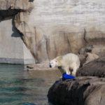 Eisbär im Gehege vom POLARIUM